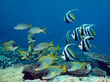 Sweetlips and bannerfish, Mafia Island.