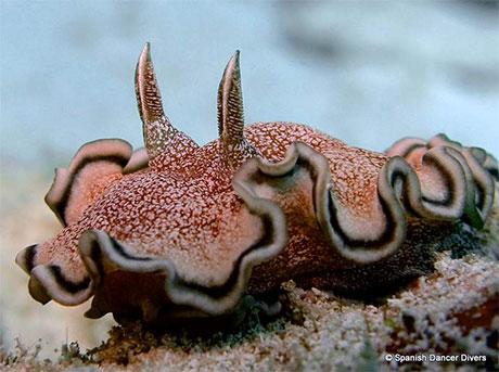 Nudibranch, Zanzibar.