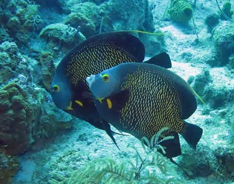 French Angel Fish, West Caicos