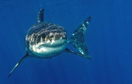 Shark off Guadalupe island, Mexico