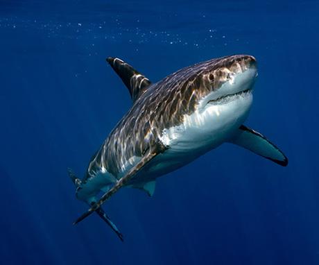 Shark off Socorro island, Mexico