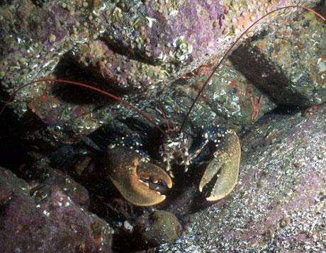 Lobster underwater in St Kilda, Scotland