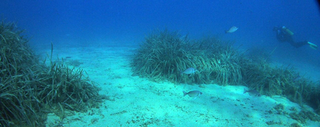Barren areas between Posidonia Beds
