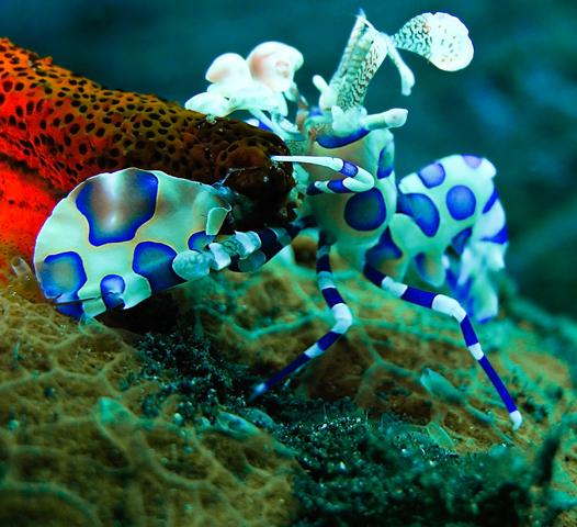 Harlequin Shrimp, Hymenocera picta. Image copyright www.tommyschultz.com