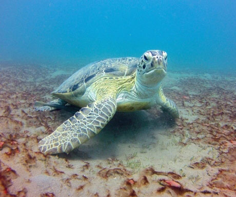 Turtle in Marsa Alam