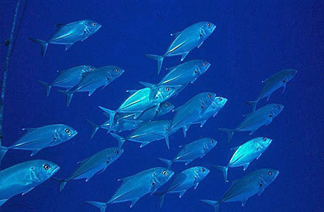 Trevally in the Red Sea by Tim Nicholson