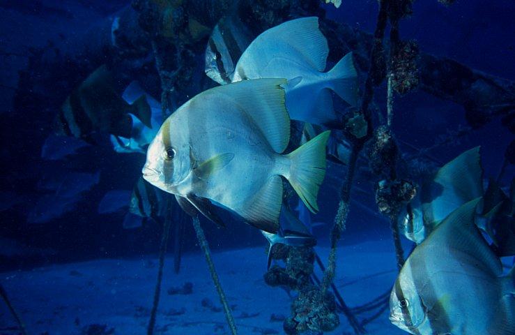 Australian Batfish photo