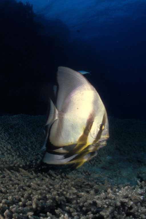 Red Sea Batfish photo