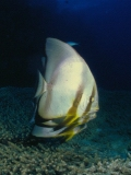 Batfish, Red Sea