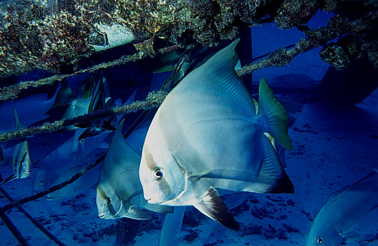 Australian Batfish photo