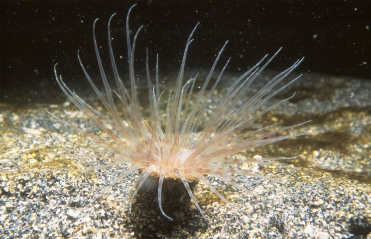 Cerianthus lloydi, Burrowing or Tube-Dwelling Anemone