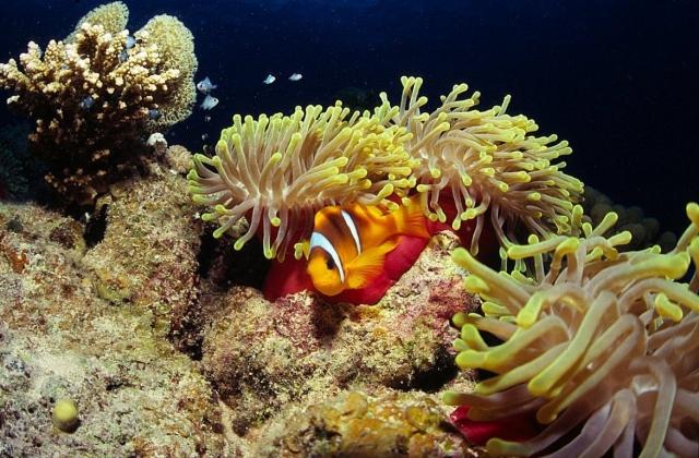 Two-Banded Clownfish on Ras Samadai by Tim Nicholson, SCUBA Travel