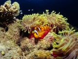 Red Sea diving, clown fish