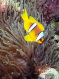 Clownfish on Shaab Sharm, Red Sea
