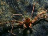 Spider Crab, Isle of Man