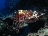 Cuttlefish, Diving Australia