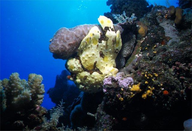 Frog Fish photograph, Agincourt Reef, Australia