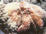 Red Sea Hermit crab