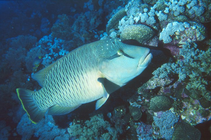 Humphead wrasse, also known as napoleon or maori wrasse