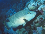 Napoleon Wrasse, Red Sea