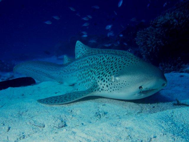 Leopard Shark, Lady Elliot Island, Australia