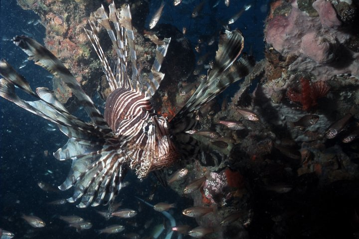 Lionfish photo, Lady BowenAustralia