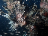 Lionfish in Thailand
