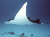 Diving with Manta Ray, Australia