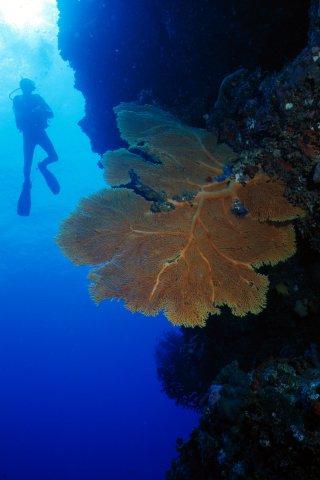Sea fan and diver photo