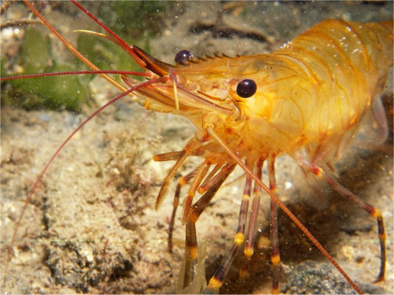 Shrimp, Isle of Man