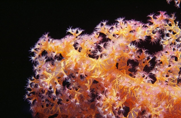Photograph of Soft Coral in Red Sea