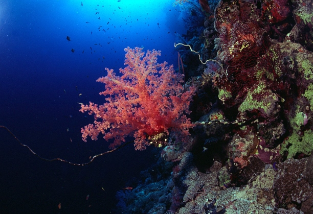 Soft coral on reef