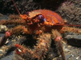Squat Lobster in Isle of Man
