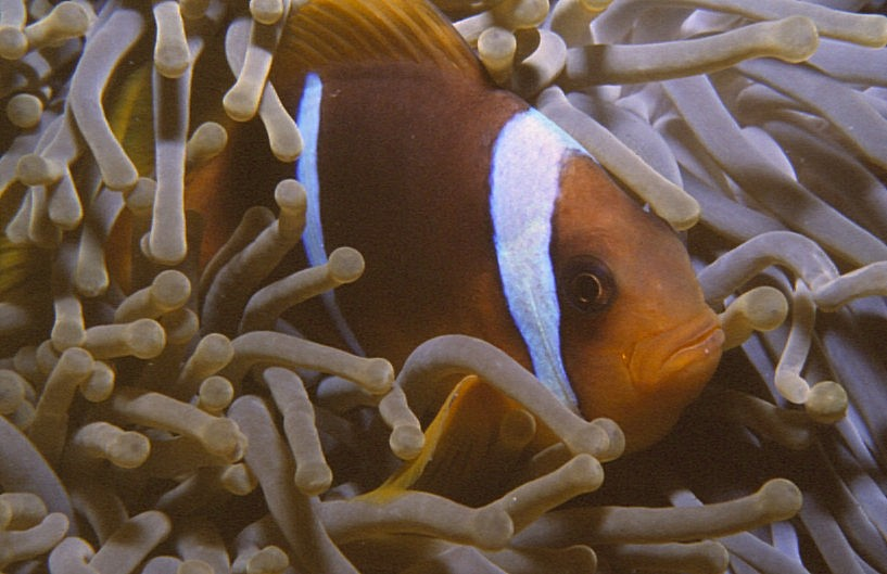 Photo Two-Banded Clownfish