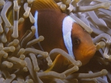 Clownfish in Dahab, Red Sea