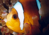 Anemonefish, Red Sea