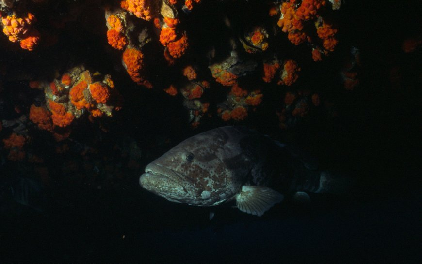 Australian Grouper photo