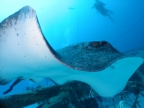 Bull Ray,  Lady Elliot Island