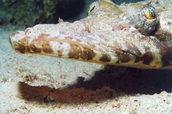 Crocodile fish or Carpetflathead