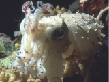 Red Sea Cuttlefish