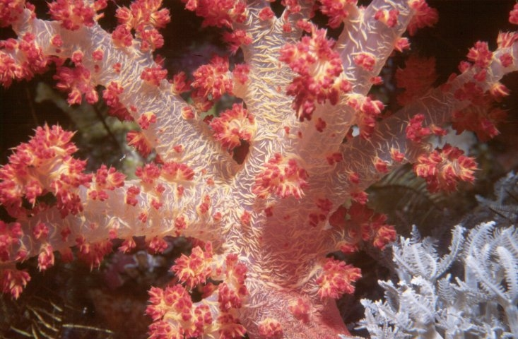 Red Soft coral on Daedelus Reef