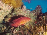 Grouper, Red Sea