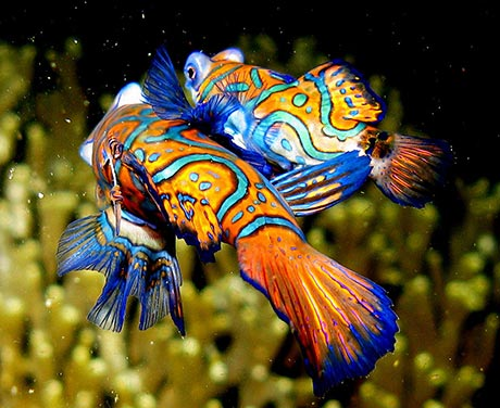By Steve Childs [CC-BY-2.0], Mandarin Fish