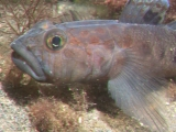 Leopard-spotted Goby in Port Erin