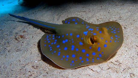 Blue Spotted Stingray, Red Sea. By Tim Nicholson.
