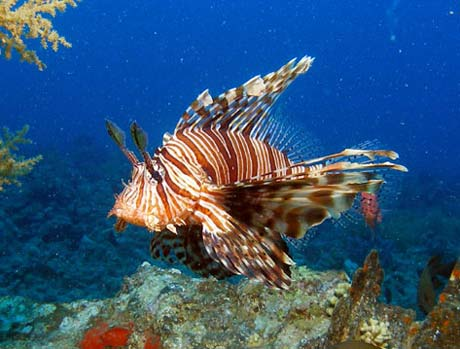 Common Lion Fish in Red Sea by Tim Nicholson