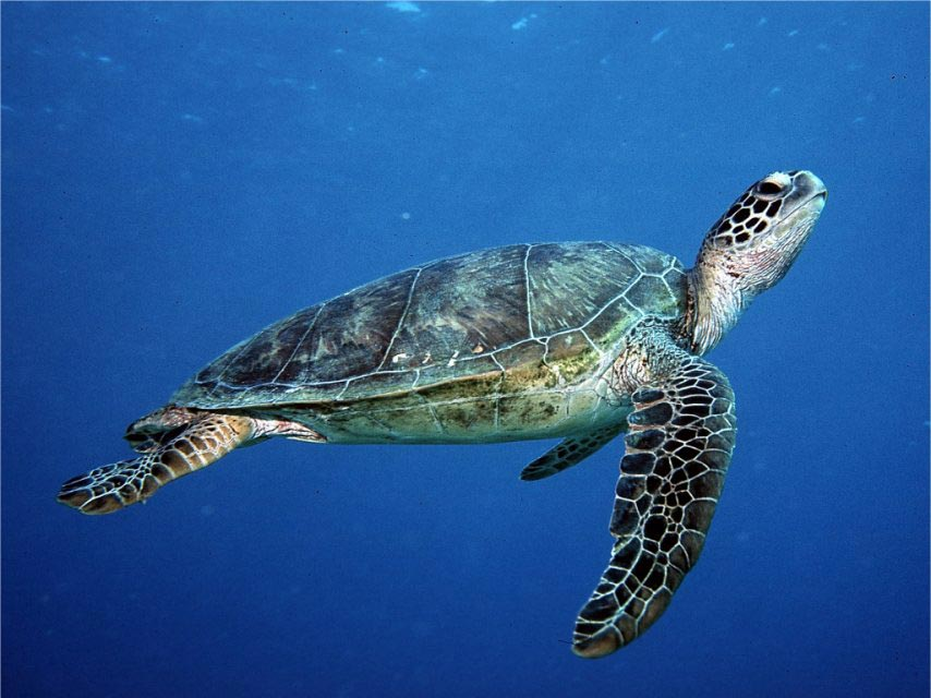 The endangered Green Turtle, Chelonia mydas.