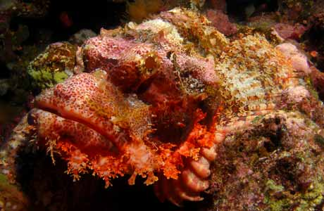 Red Sea Tassled Scorpion Fish by Tim Nicholson