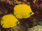 Butterfly Fish, Red Sea