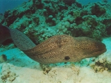 Red Sea Moray Eel